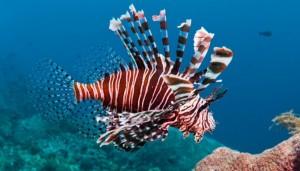 koraalduivel-1050x600